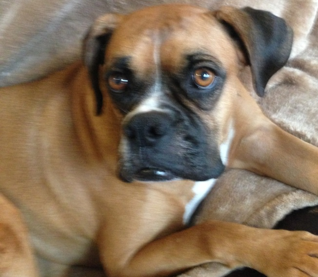 my youngest boxer